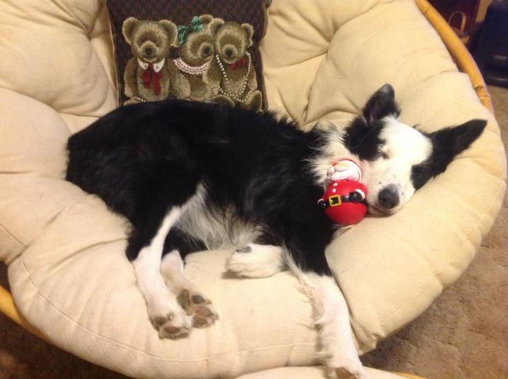sleep collie dog cute