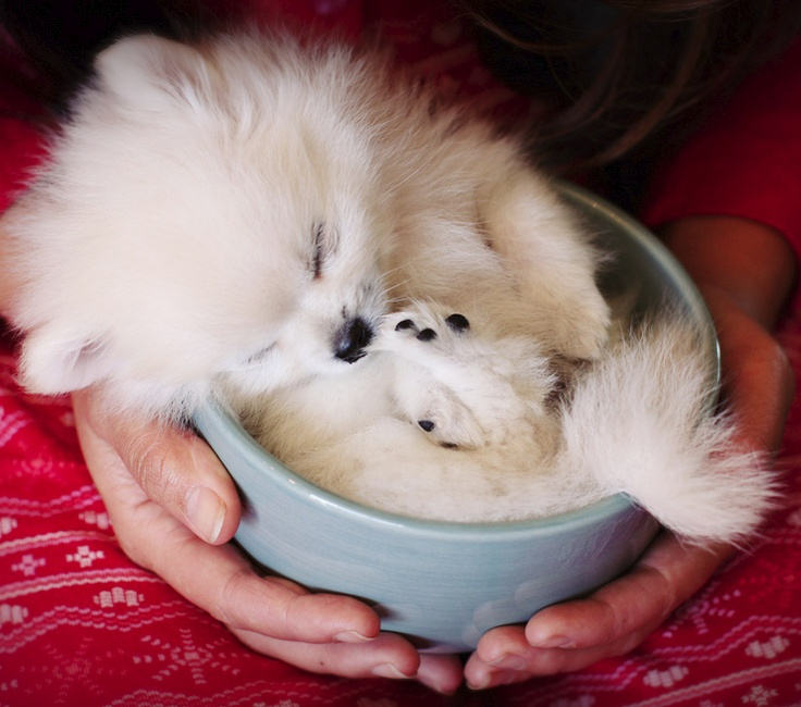 sleep pomeranian dog pup