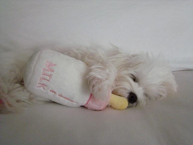 sleep puppy maltese