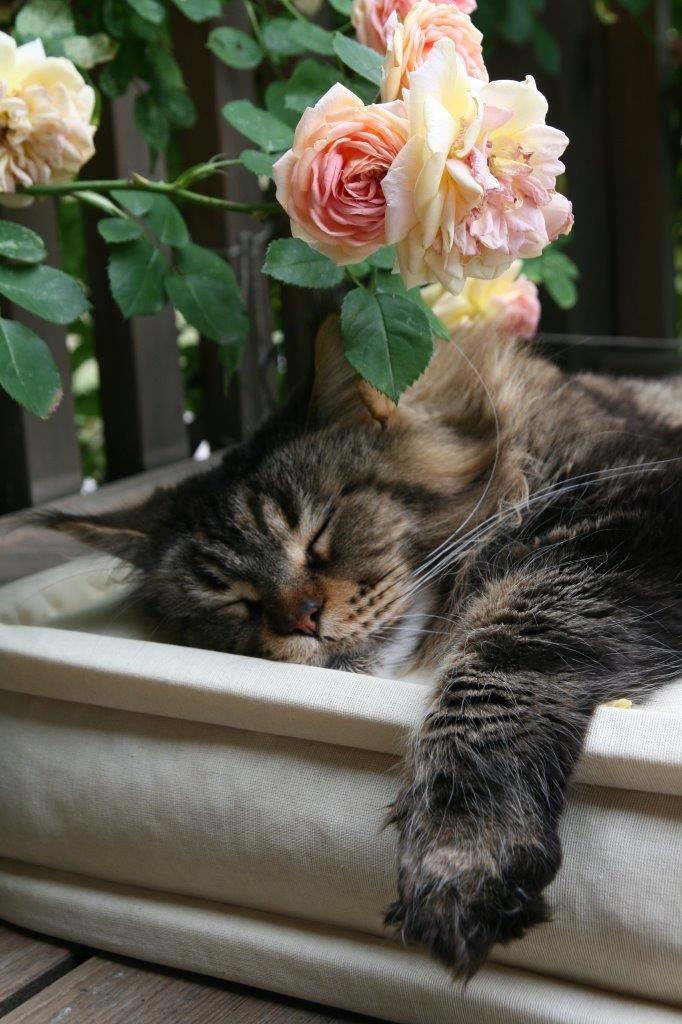 sleeping cat pics roses
