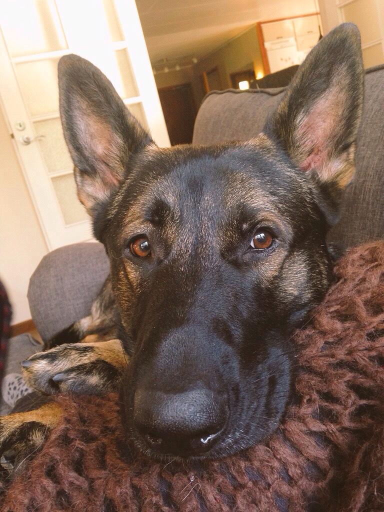 smart eyes german shepherd