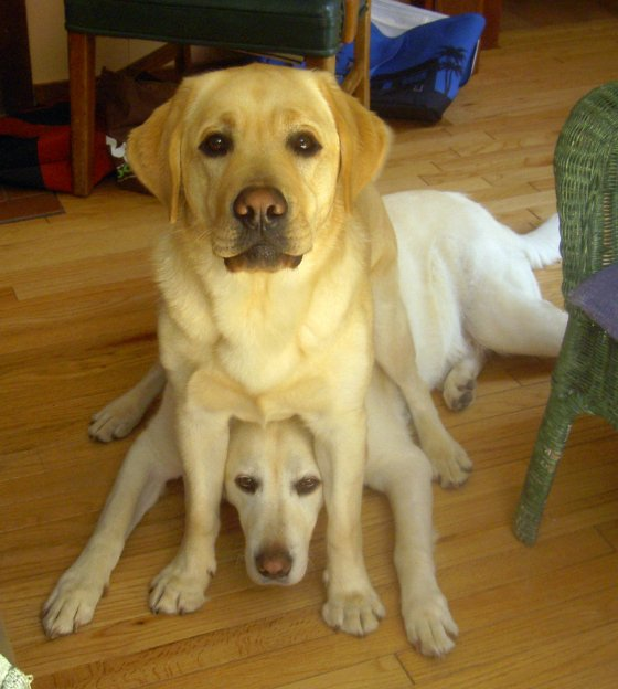 two funny labs - Free funny yellow lab photos