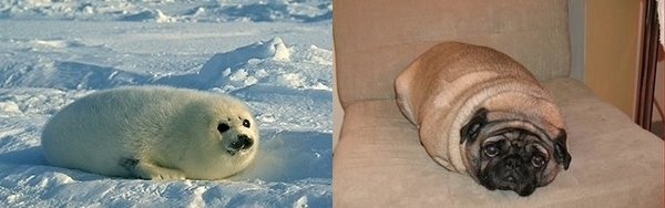 A seal and pug