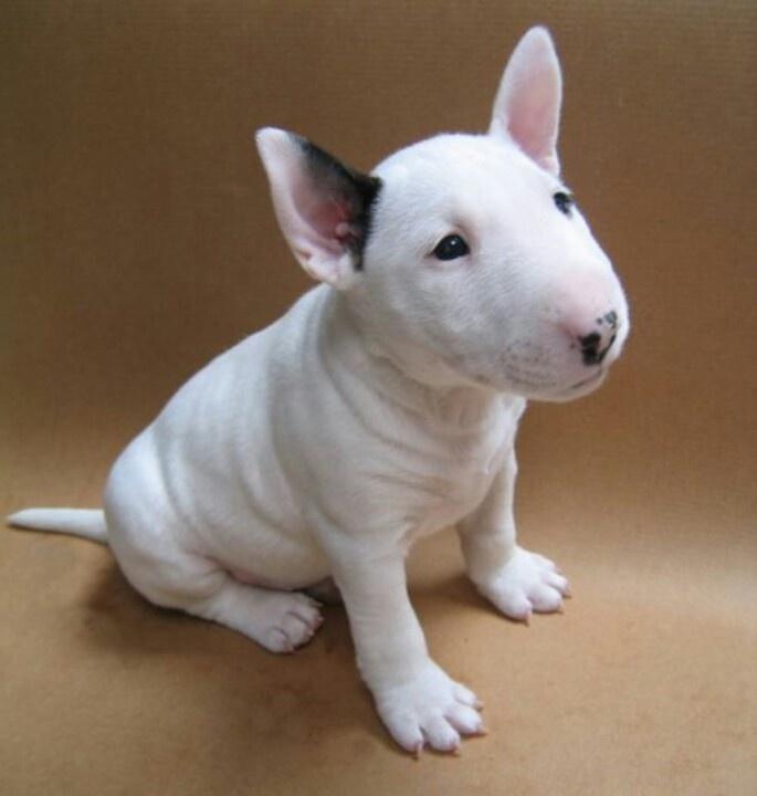 Bull Terrier puppy white
