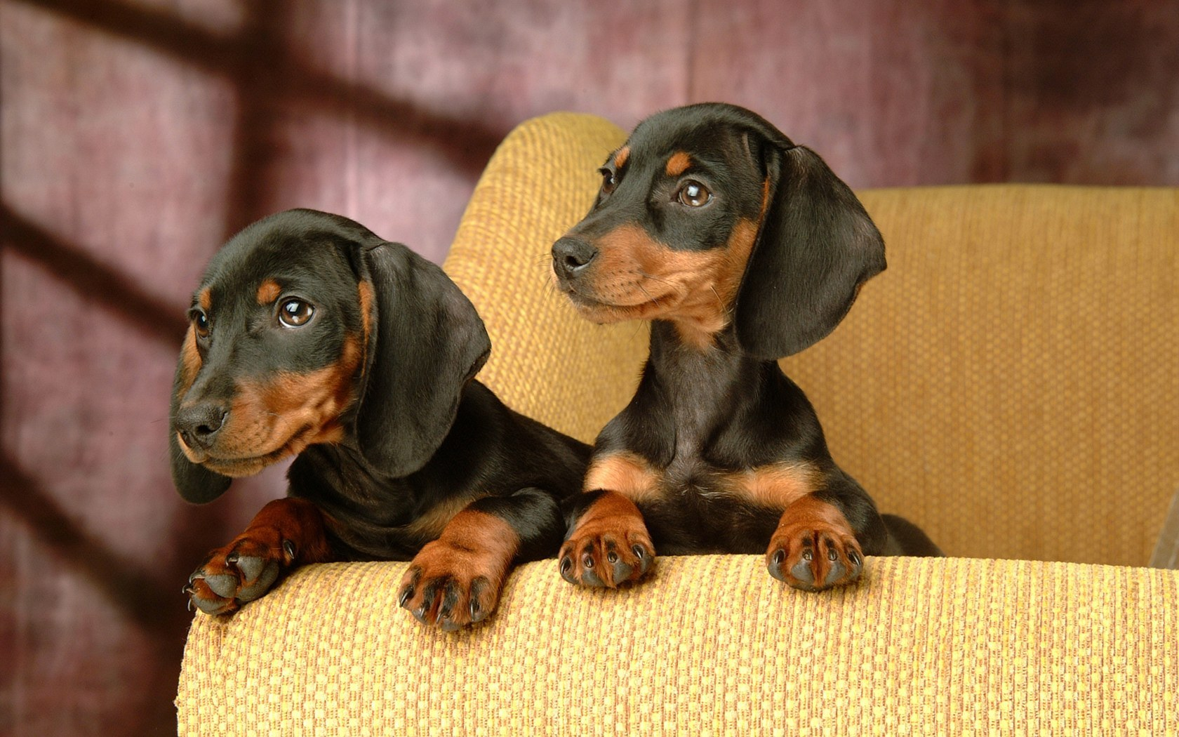 Where did Dachshunds originate?