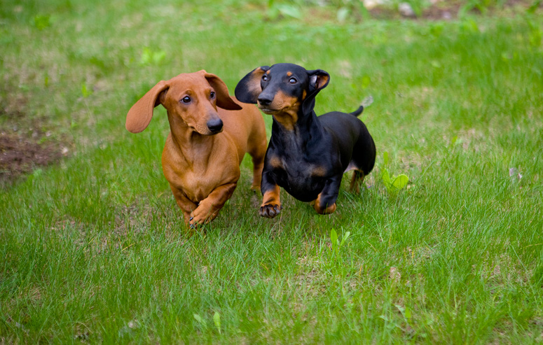 What does the Dachshund's name mean?