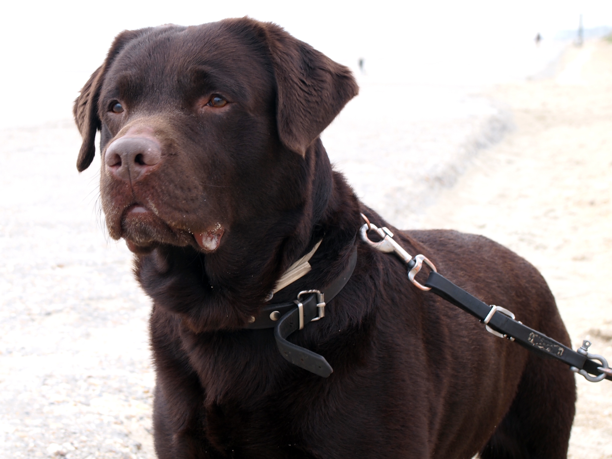 How long do Labrador Retrievers live?