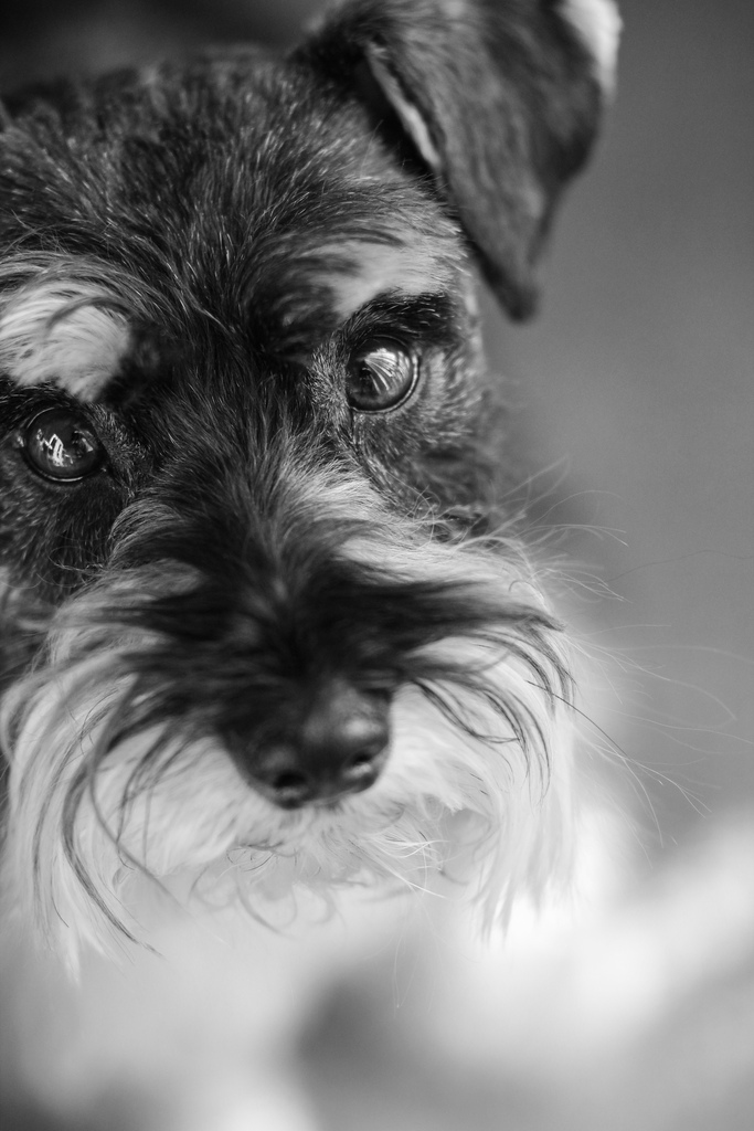 Which of these famous people is not a Schnauzer lover?