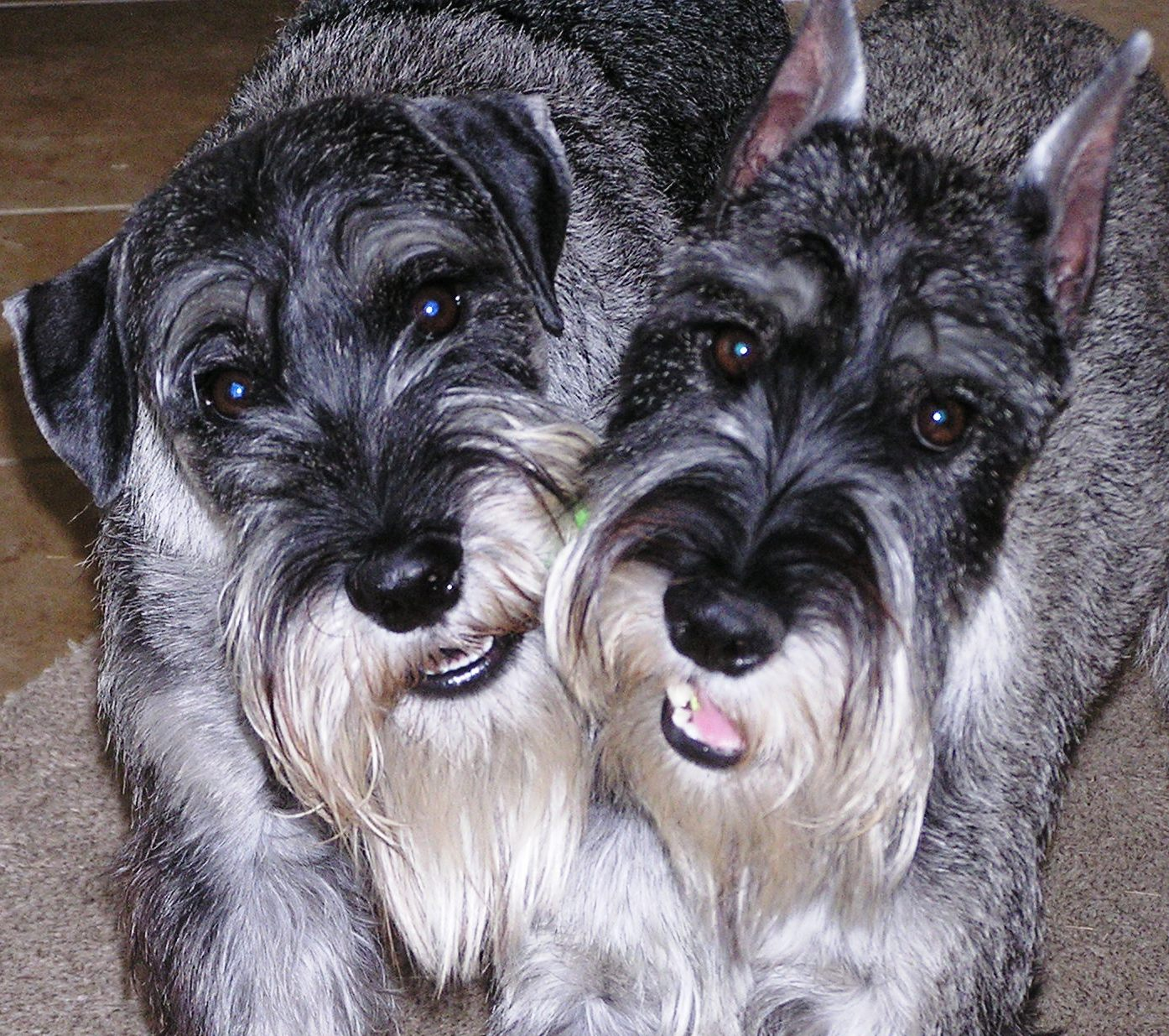 Which of these is not a popular Schnauzer hybrid?