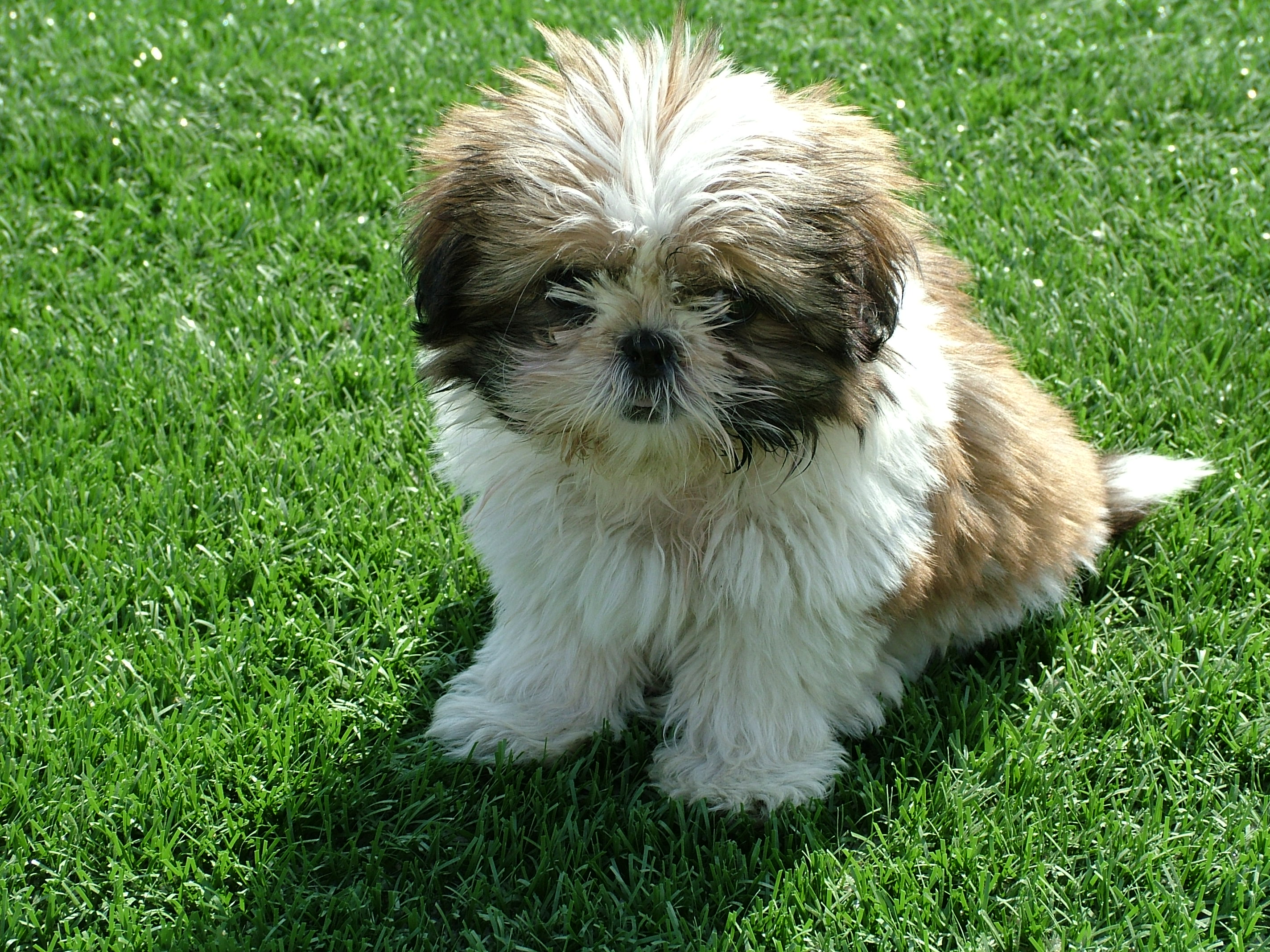 Where did Shih Tzu originate?