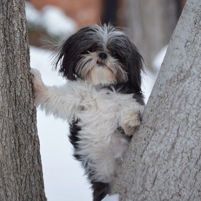 Shih Tzu's are said to have