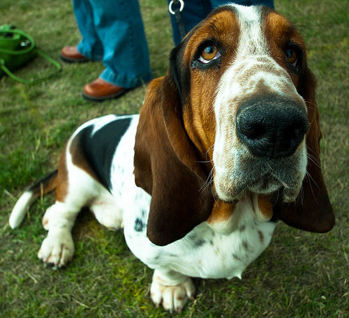 Average height for a basset hound?