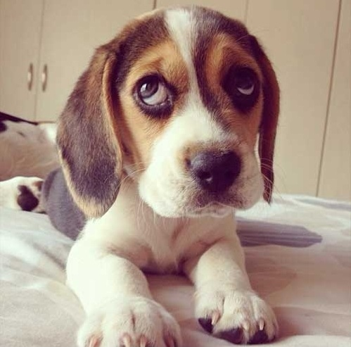 beagle puppy cute eyes