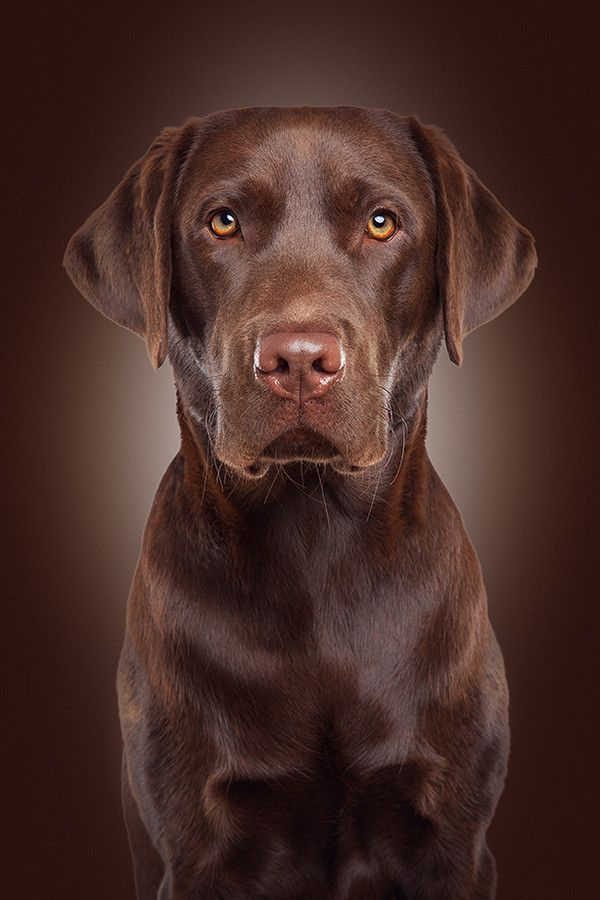 A Labrador Retriever has never won