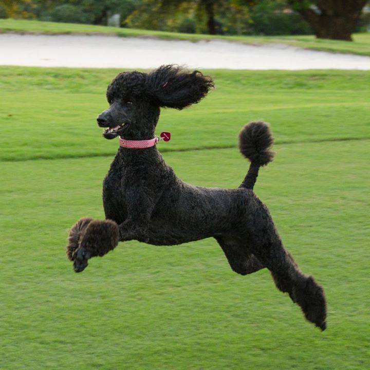 Poodles are prone to ear infections.