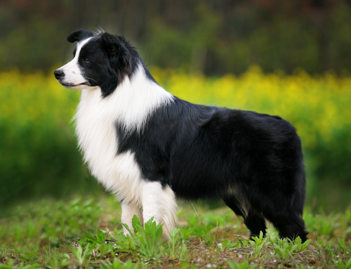Which of the following does the Border Collie NOT do?