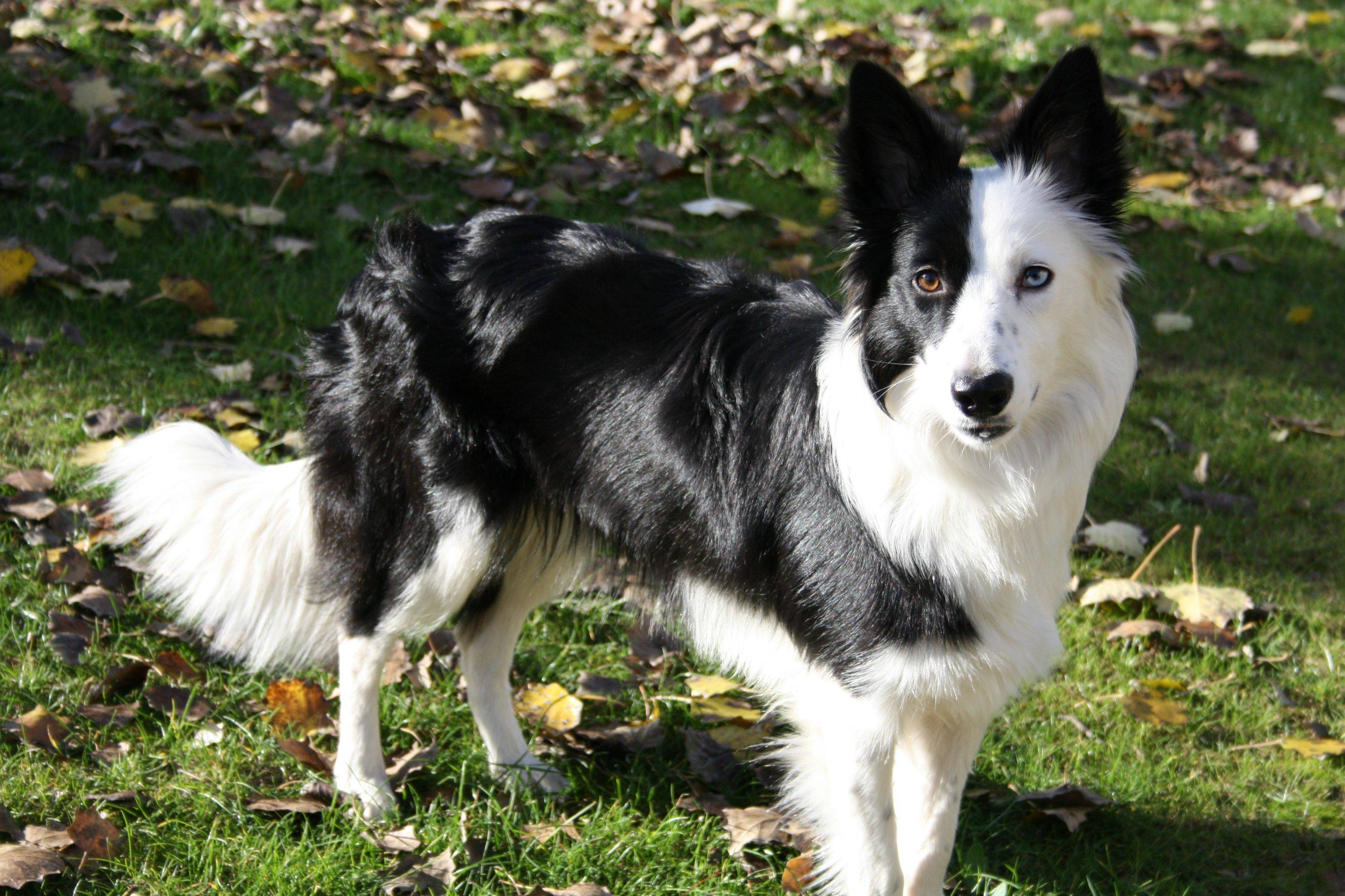 What are the border collie's exercise requirements?