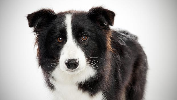 Which of the following colors can a Border Collie NOT be?