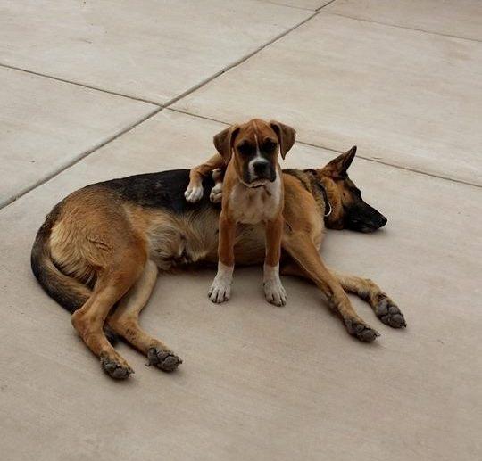 boxer sits on german shepherd
