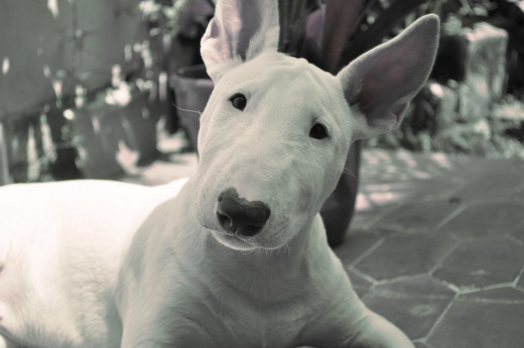 bull terrier look