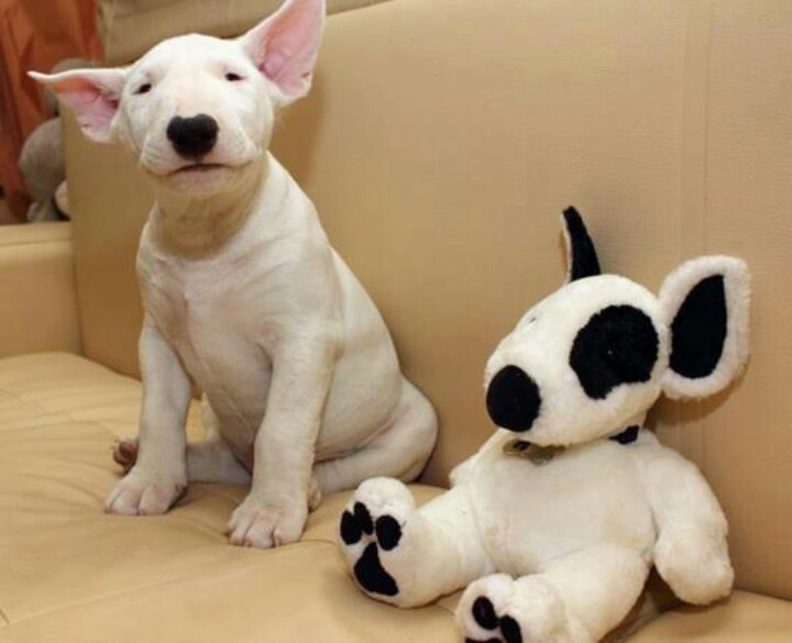 bull terrier play toy