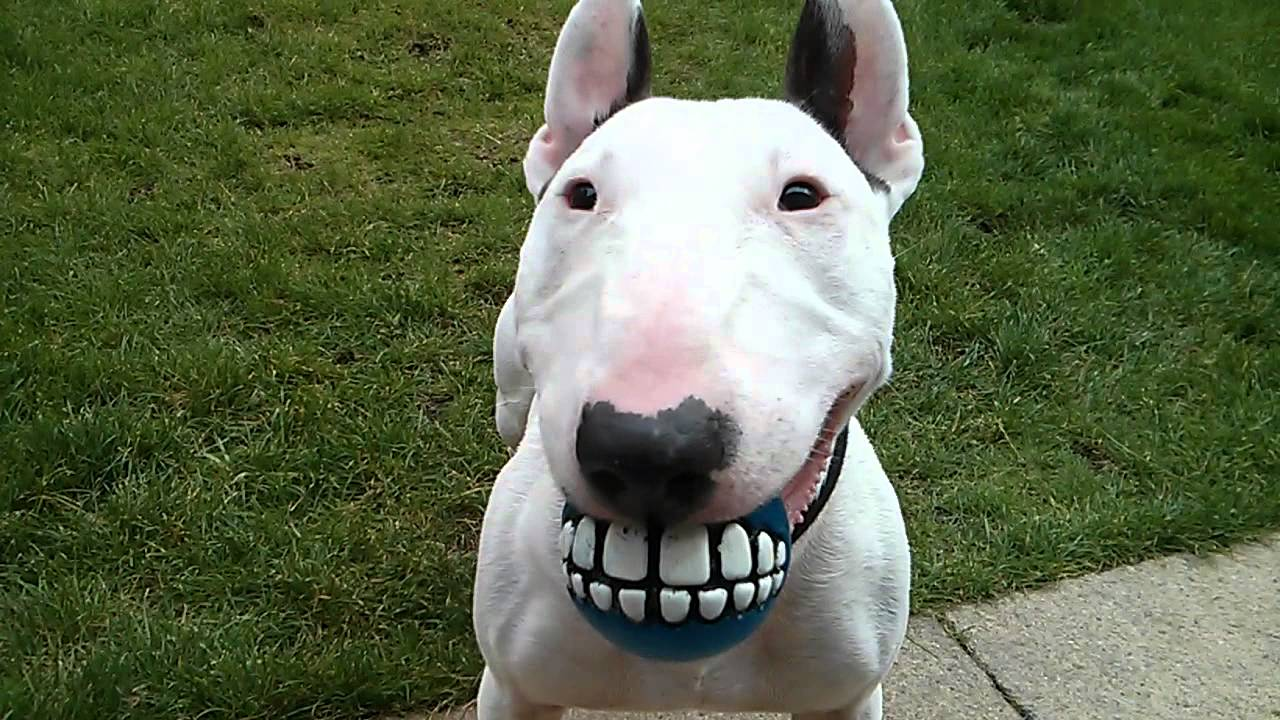 bull terrier pic 10 charming facts about bull terriers 956