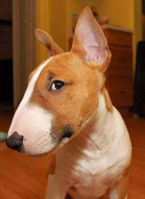 cute bull terrier eyes look