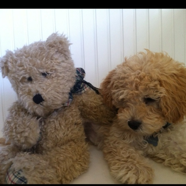 What Kind Of Dogs Are Teddy Bear Puppies
