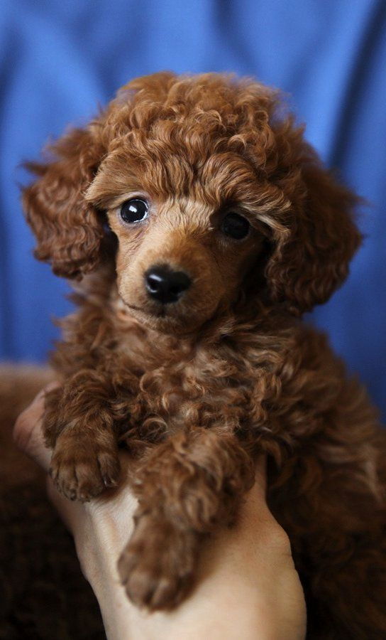 What was the Standard Poodle's original purpose?