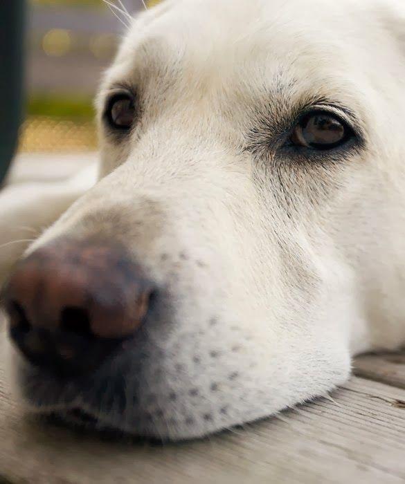 Labrador retrievers are moderate shedders.