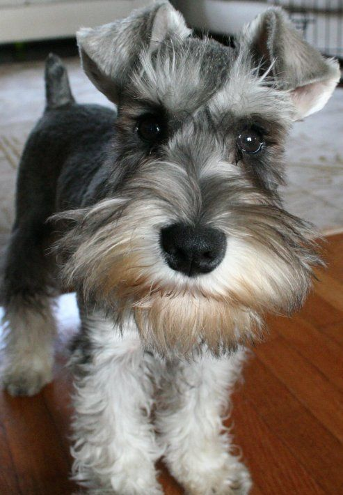 What two breeds of dogs were crossed to breed a miniature Schnauzer?