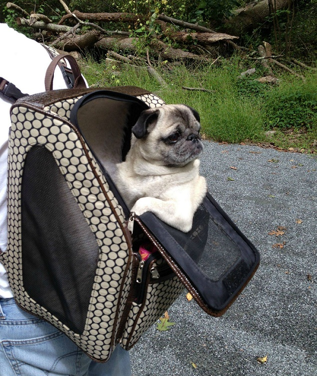 10 Pictures Only Pug Owners Will Think Are Funny
