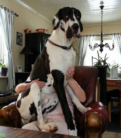 Big Dog Sitting On Couch