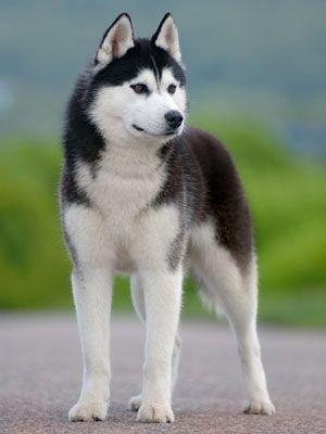 What was the name of the Siberian Husky who lead the 2d team of Siberian Huskies on the serum run to Nome, Alaska in 1925?