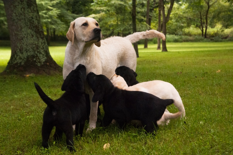 How long does it take for a Labrador Retriever Mother to give Birth to her puppies?