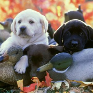 They were originally bred to retrieve game for hunters both on land and water.