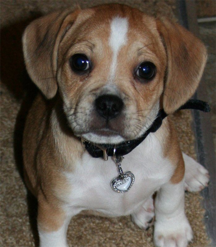 12 Reasons Why You Should Never Own Puggles