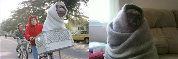 pug dog funny pics
