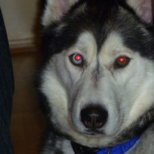 How Well Do You Know Your Husky Quiz