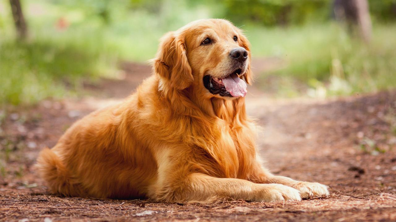 Which of these four breeds was the Golden originally bred from?