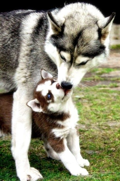 Which of these traits do Siberian huskies share with their ancestor, the wolf?