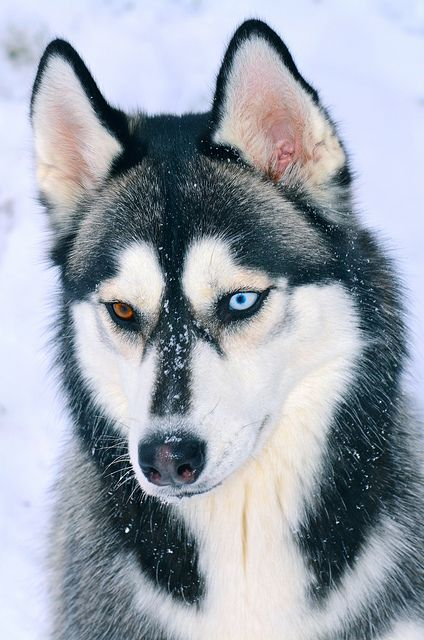 Siberian Huskies are most commonly used for?