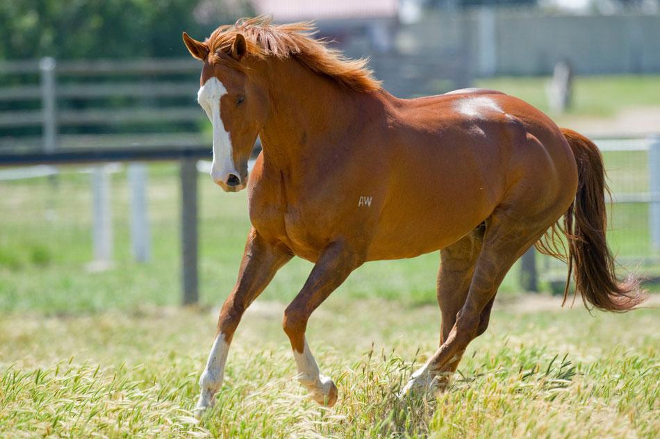 Apache horse