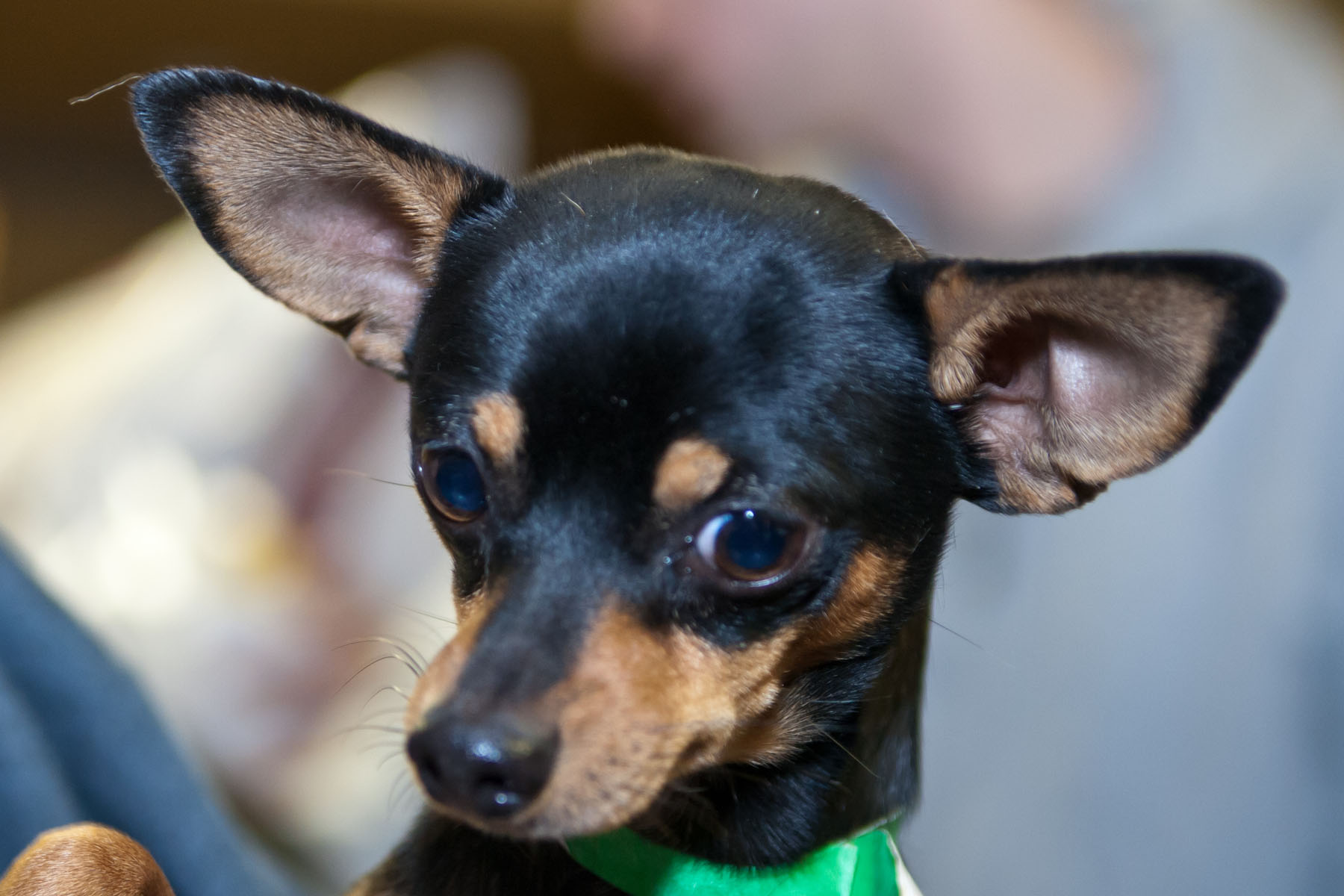 10 Best Chihuahua Dog Names