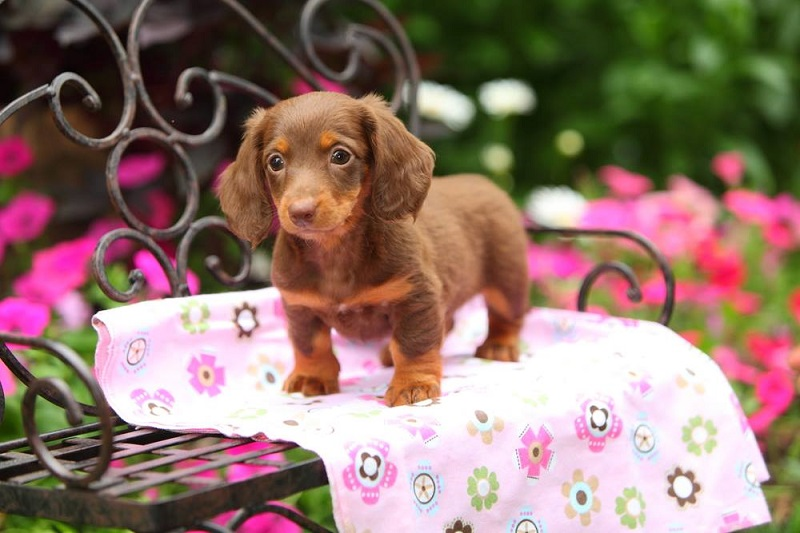 80 Top Best Most Popular Dachshund Names