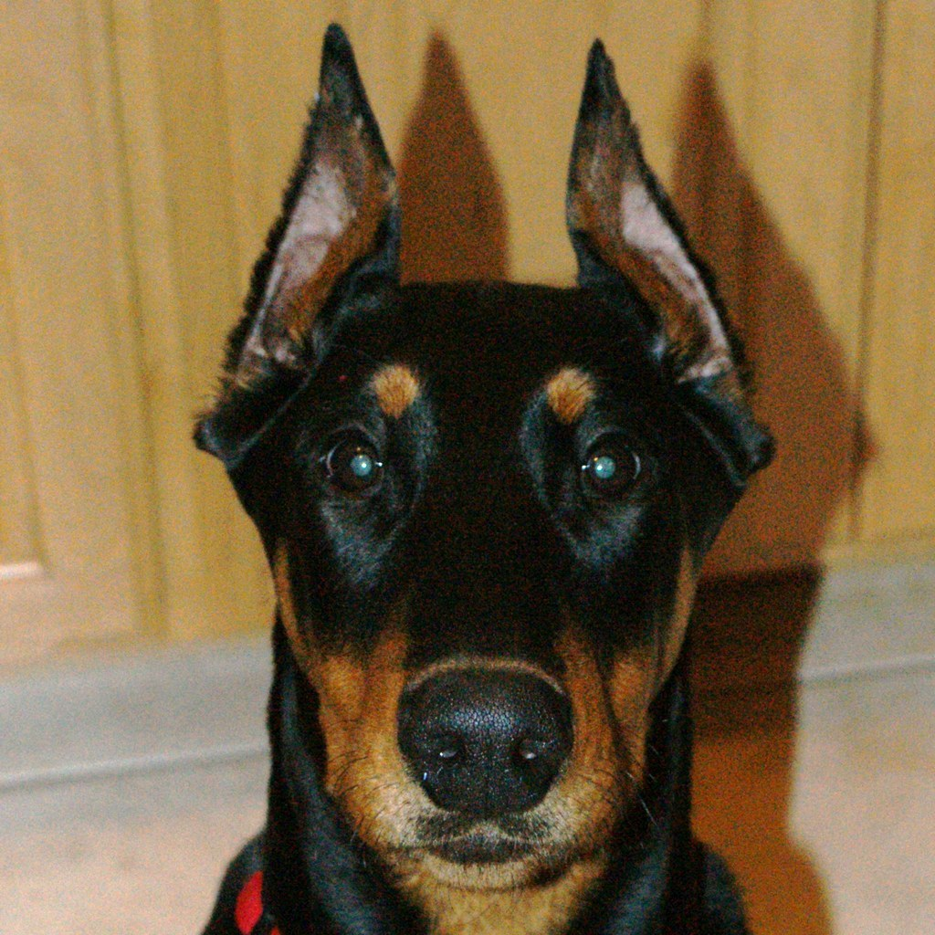 10 Best Doberman Pinscher Dog Names