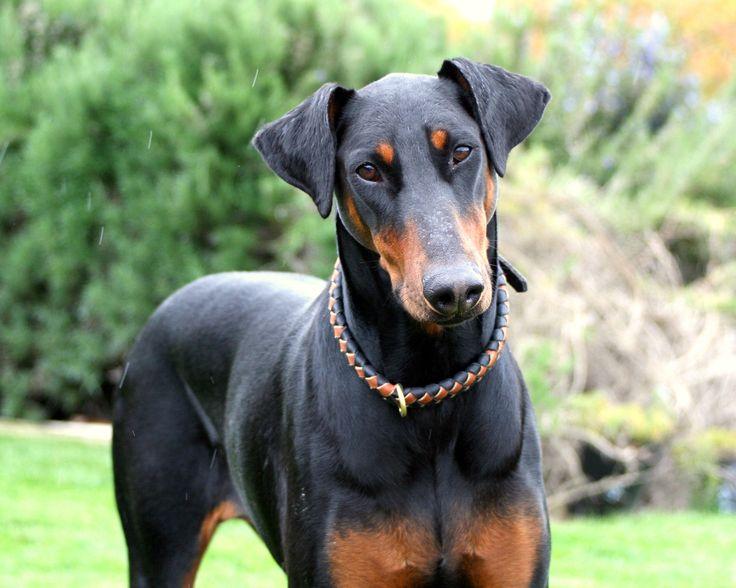 10 best doberman pinscher dog names - Doberman wallpaper ...