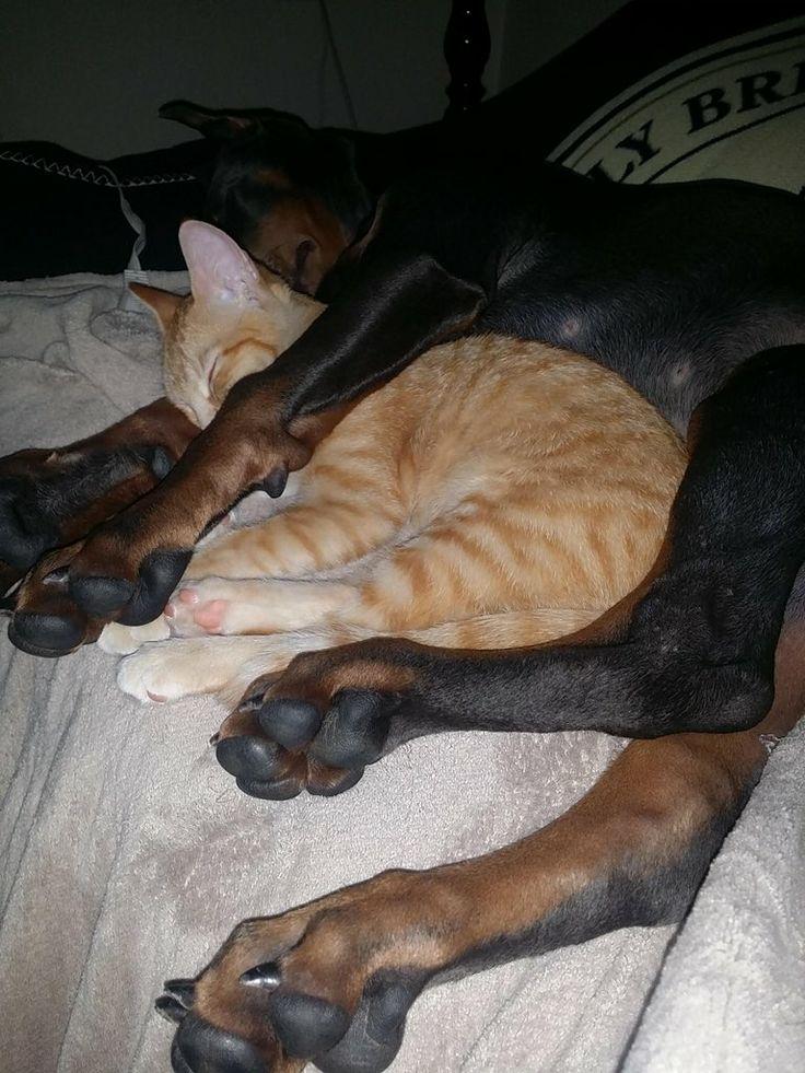 Doberman Dog Bed