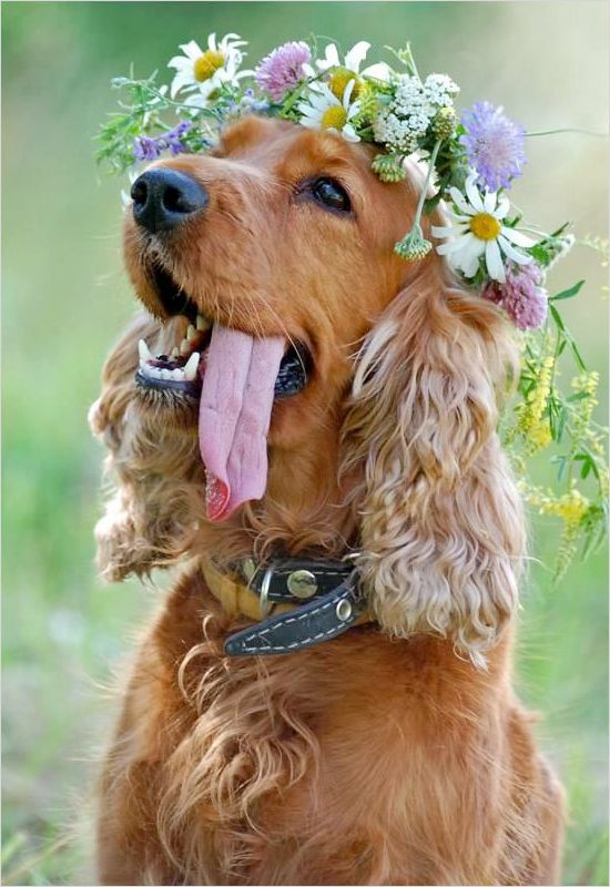 Ginger spaniel dog
