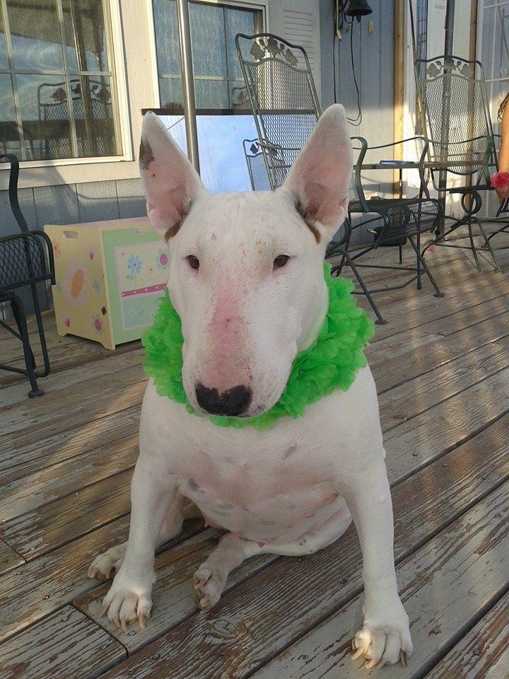 Lola bull terrier